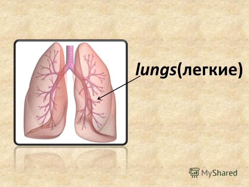 lungs(легкие)