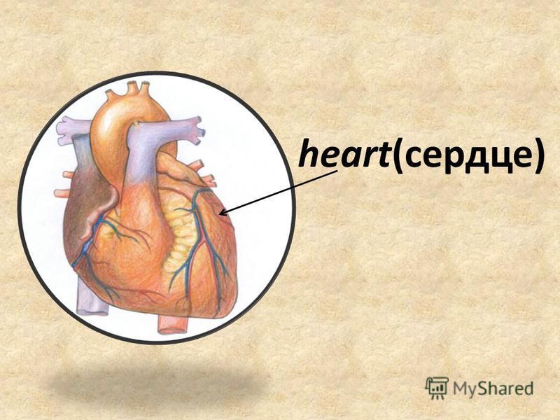 heart(сердце)