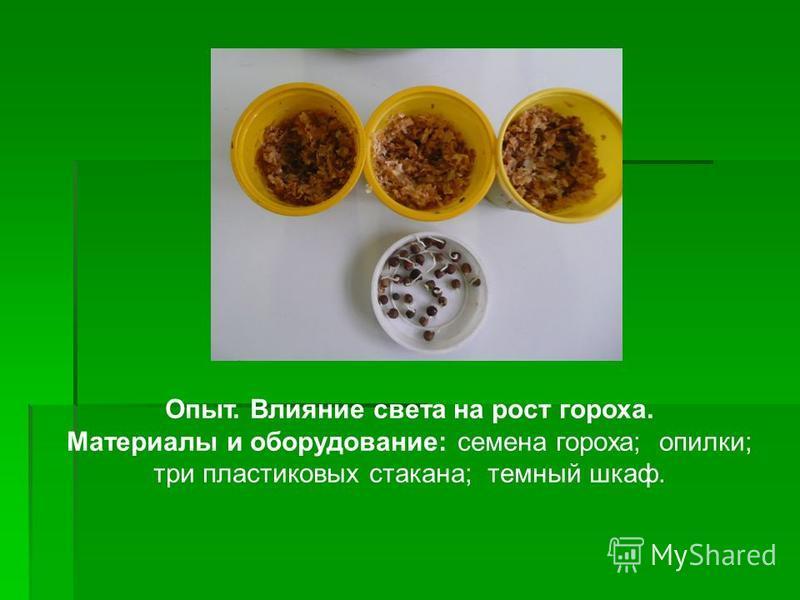Опыт. Влияние света на рост гороха. Материалы и оборудование: семена гороха; опилки; три пластиковых стакана; темный шкаф.