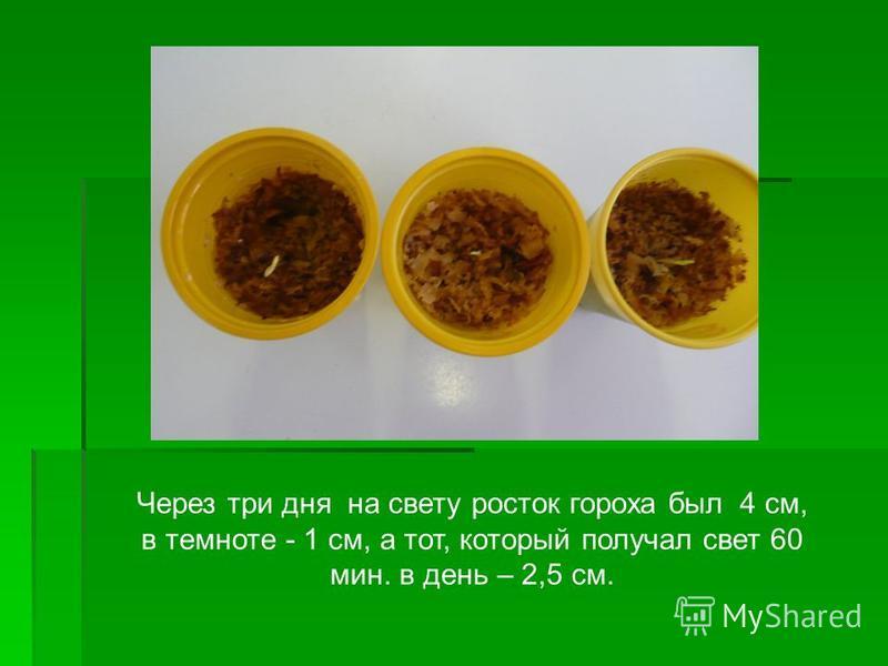 Через три дня на свету росток гороха был 4 см, в темноте - 1 см, а тот, который получал свет 60 мин. в день – 2,5 см.