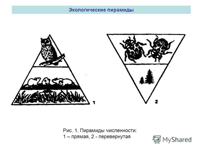 Экологические пирамиды Рис. 1. Пирамиды численности: 1 – прямая, 2 - перевернутая
