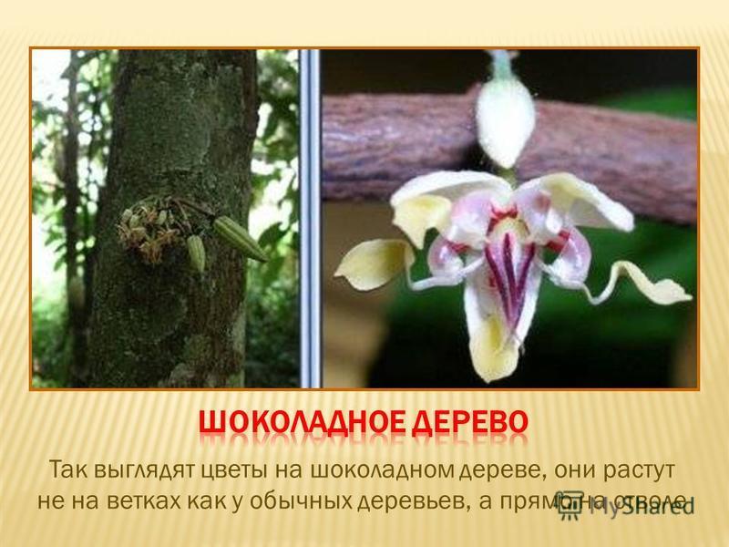 Так выглядят цветы на шоколадном дереве, они растут не на ветках как у обычных деревьев, а прямо на стволе