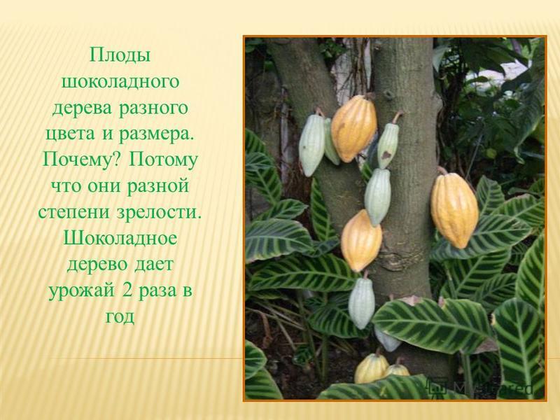 Плоды шоколадного дерева разного цвета и размера. Почему? Потому что они разной степени зрелости. Шоколадное дерево дает урожай 2 раза в год