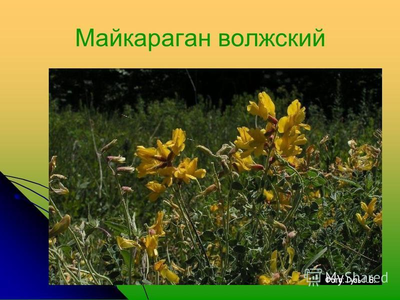 Майкараган волжский