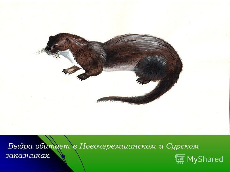 Выдра обитает в Новочеремшанском и Сурском заказниках.