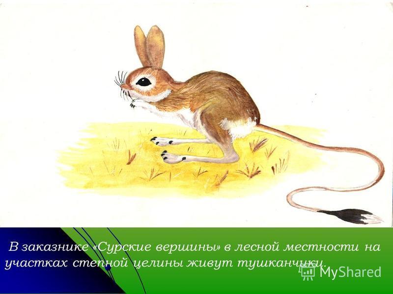 В заказнике «Сурские вершины» в лесной местности на участках степной целины живут тушканчики.
