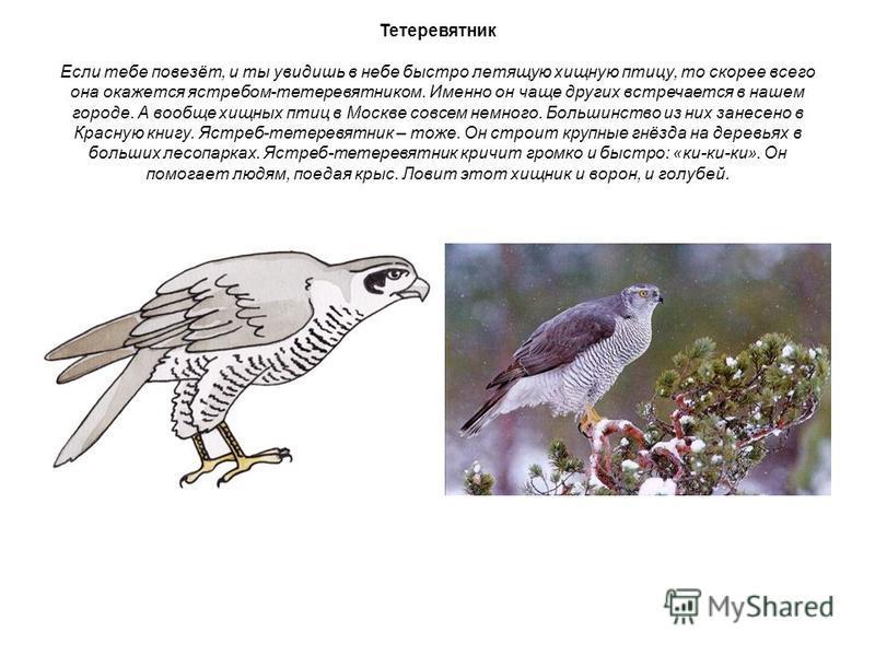 Тетеревятник Если тебе повезёт, и ты увидишь в небе быстро летящую хищную птицу, то скорее всего она окажется ястребом-тетеревятником. Именно он чаще других встречается в нашем городе. А вообще хищных птиц в Москве совсем немного. Большинство из них