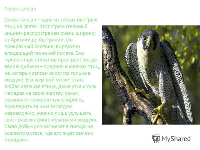 Сокол-сапсан Сокол-сапсан – одна из самых быстрых птиц на свете! Этот стремительный хищник распространен очень широко: от Арктики до Австралии. Он прекрасный охотник, виртуозно владеющий техникой полета. Ему нужно лишь открытое пространство да вволю