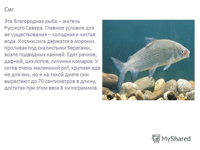 Сиг Эта благородная рыба – житель Русского Севера. Главное условие для ее существования – холодная и чистая вода. Косяки сига держатся в морских проливах под скалистыми берегами, возле подводных камней. Едят рачков, дафний, циклопов, личинки комаров.