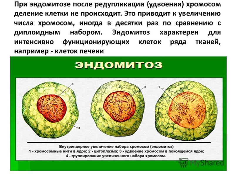 При эндомитозе после редупликации (удвоения) хромосом деление клетки не происходит. Это приводит к увеличению числа хромосом, иногда в десятки раз по сравнению с диплоидным набором. Эндомитоз характерен для интенсивно функционирующих клеток ряда ткан