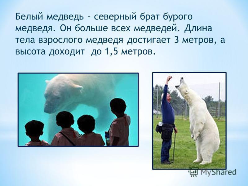 Белый медведь - северный брат бурого медведя. Он больше всех медведей. Длина тела взрослого медведя достигает 3 метров, а высота доходит до 1,5 метров.