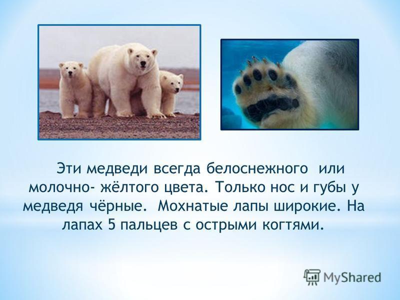 Эти медведи всегда белоснежного или молочно- жёлтого цвета. Только нос и губы у медведя чёрные. Мохнатые лапы широкие. На лапах 5 пальцев с острыми когтями.