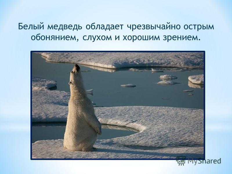 Белый медведь обладает чрезвычайно острым обонянием, слухом и хорошим зрением.