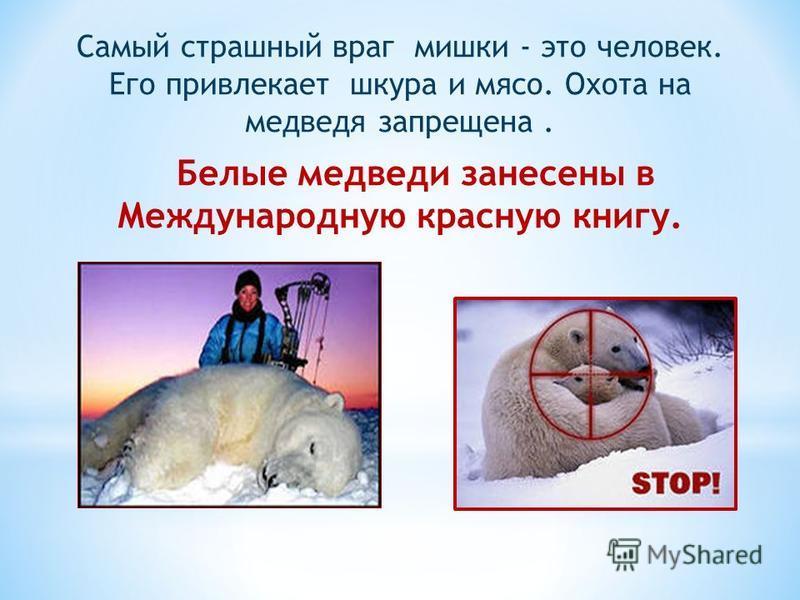 Самый страшный враг мишки - это человек. Его привлекает шкура и мясо. Охота на медведя запрещена. Белые медведи занесены в Международную красную книгу.