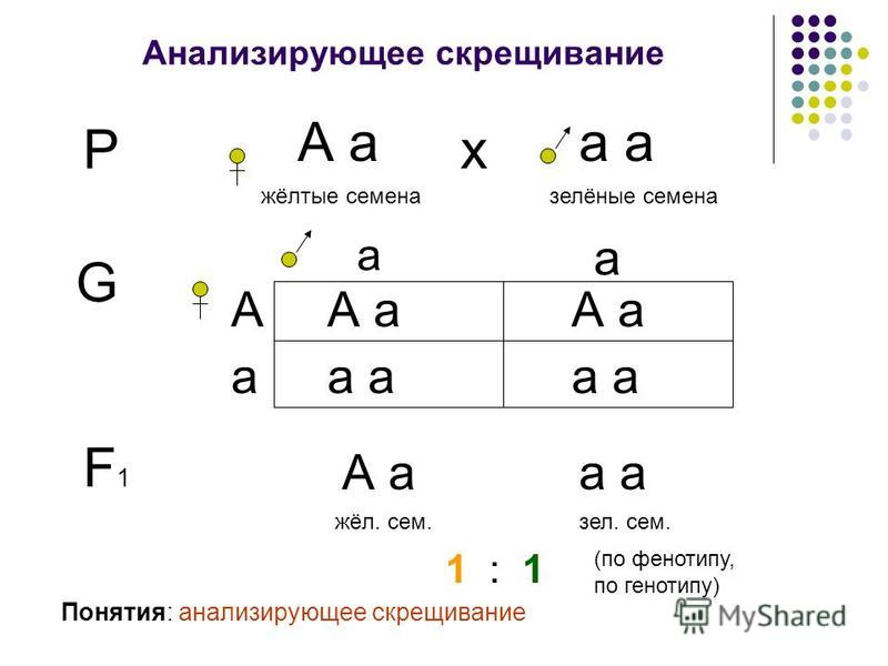 Анализирующее скрещивание Р А а жёлтые семена а залёные семена х G а А а а А а а Понятия: анализирующее скрещивание F1F1 А а жёл. сем.зал. сем. 1 : 1 (по фенотипу, по генотипу)
