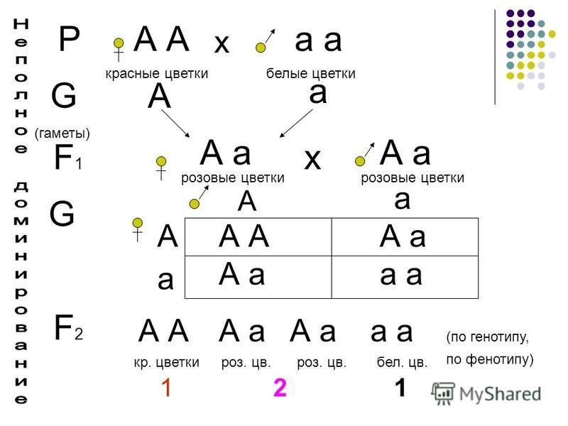 РА а х красные цветки белые цветки G (гаметы) А а F1F1 А а розовые цветки А а розовые цветки х G А А а а А а А А а а F2F2 А А а а кр. цветки роз. цв. бел. цв. 1 2 1 (по генотипу, по фенотипу)