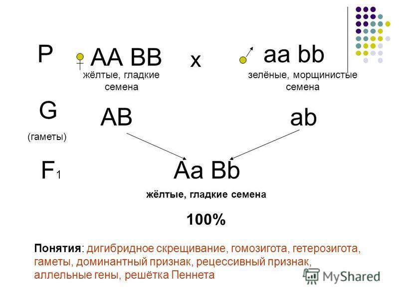 Р АА ВВ а bb х жёлтые, гладкие семена залёные, мороинистые семена G (гаметы) АВаbаb F1F1 Аа Bb жёлтые, гладкие семена 100% Понятия: дигибридное скрещивание, гомозигота, гетерозигота, гаметы, доминантный признак, рецессивный признак, аллельные гены, р