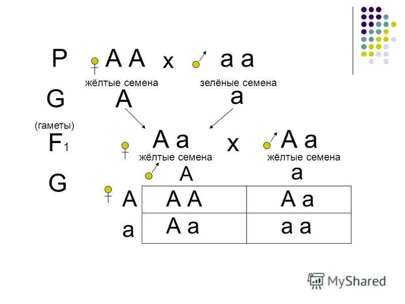 РА а х жёлтые семена залёные семена G (гаметы) А а F1F1 А а жёлтые семена А а жёлтые семена х G А А а а А а А А а а