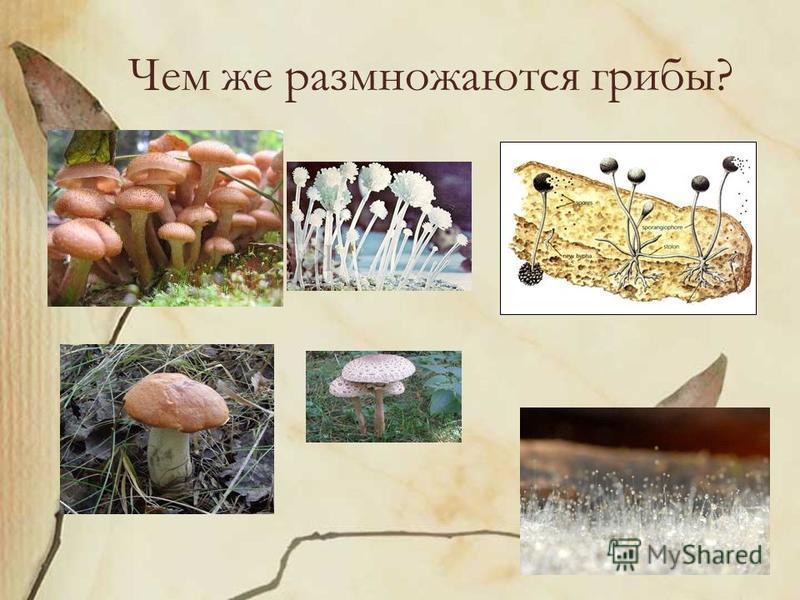 Чем же размножаются грибы?