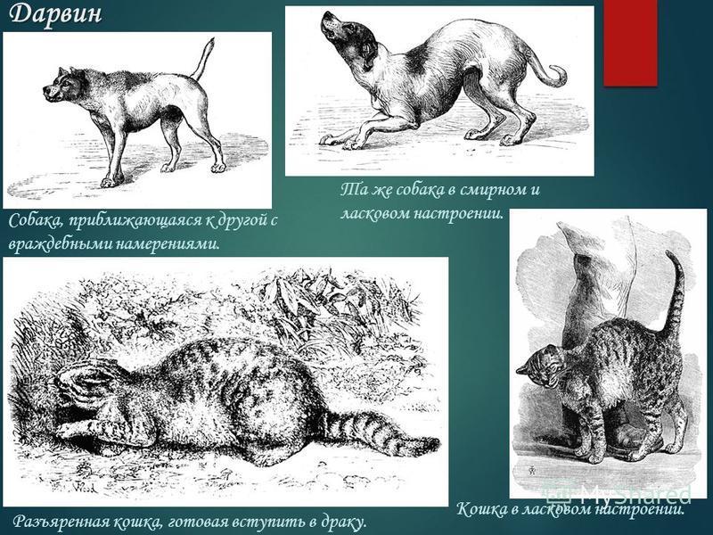 Дарвин Собака, приближающаяся к другой с враждебными намерениями. Та же собака в смирном и ласковом настроении. Разъяренная кошка, готовая вступить в драку. Кошка в ласковом настроении.