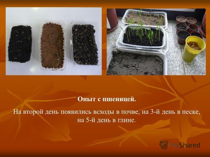 Опыт с пшеницей. На второй день появились всходы в почве, на 3-й день в песке, на 5-й день в глине.