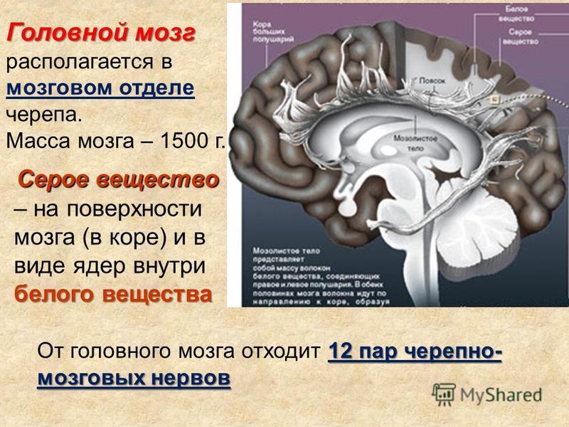 Головной мозг Головной мозг располагается в мозговом отделе черепа. Масса мозга – 1500 г. Серое вещество белого вещества Серое вещество – на поверхности мозга (в коре) и в виде ядер внутри белого вещества 12 пар черепно- мозговых нервов От головного