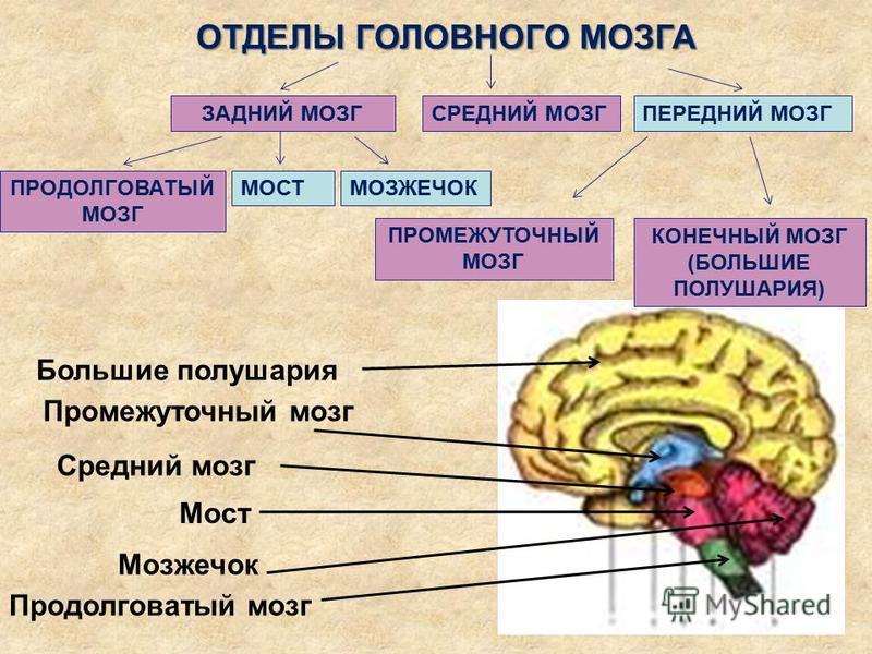 ОТДЕЛЫ ГОЛОВНОГО МОЗГА ПРОДОЛГОВАТЫЙ МОЗГ МОЗЖЕЧОК СРЕДНИЙ МОЗГПЕРЕДНИЙ МОЗГ КОНЕЧНЫЙ МОЗГ (БОЛЬШИЕ ПОЛУШАРИЯ) Большие полушария Промешуточный мозг Среднии мозг Мост Мозжечок Продолговатый мозг МОСТ ЗАДНИЙ МОЗГ ПРОМЕЖУТОЧНЫЙ МОЗГ