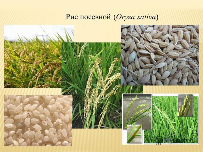 Рис посевной (Oryza sativa)