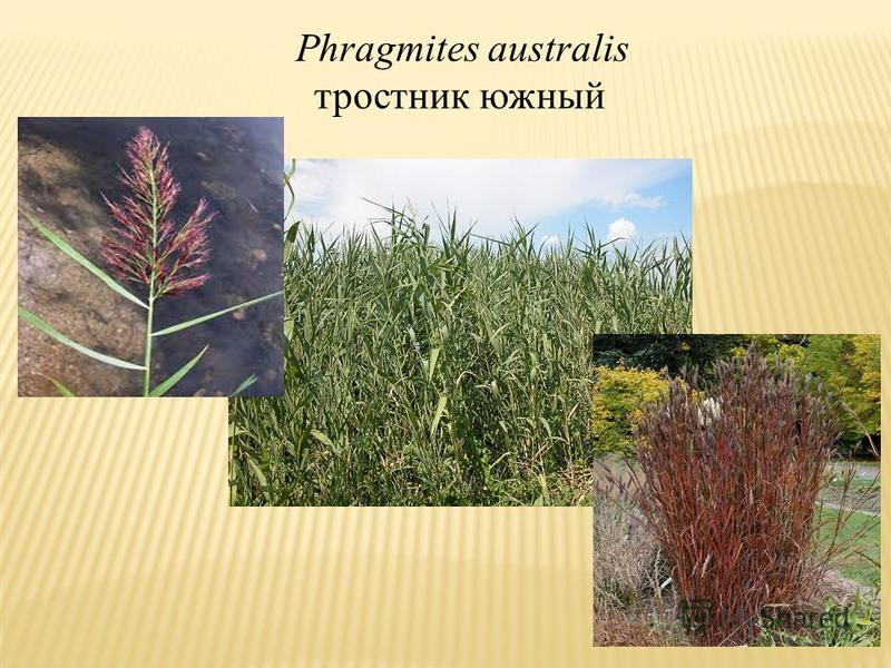Phragmites australis тростник южный