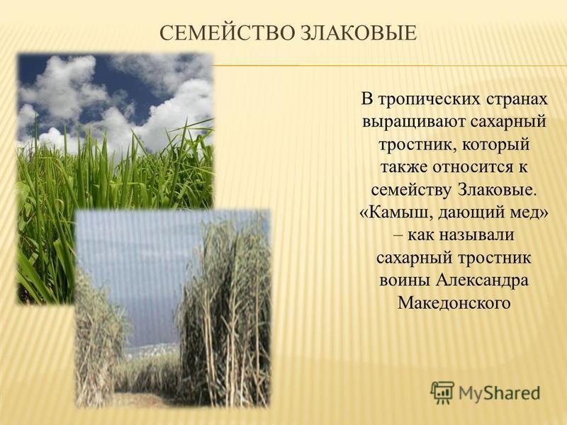 СЕМЕЙСТВО ЗЛАКОВЫЕ В тропических странах выращивают сахарный тростник, который также относится к семейству Злаковые. «Камыш, дающий мед» – как называли сахарный тростник воины Александра Македонского