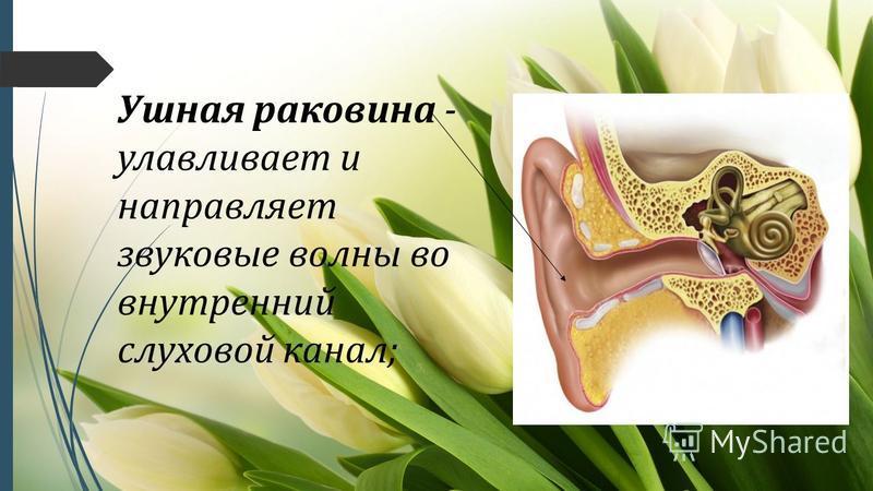 Ушная раковина - улавливает и направляет звуковые волны во внутренний слуховой канал;