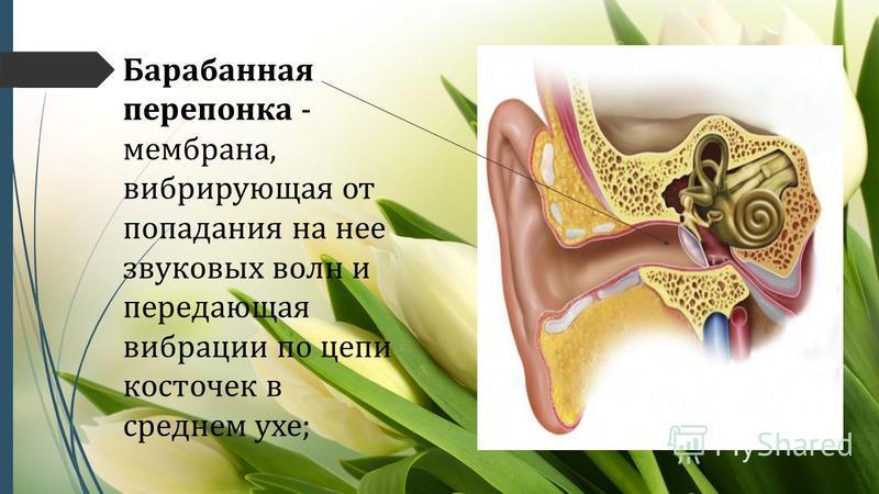 Барабанная перепонка - мембрана, вибрирующая от попадания на нее звуковых волн и передающая вибрации по цепи косточек в среднем ухе;