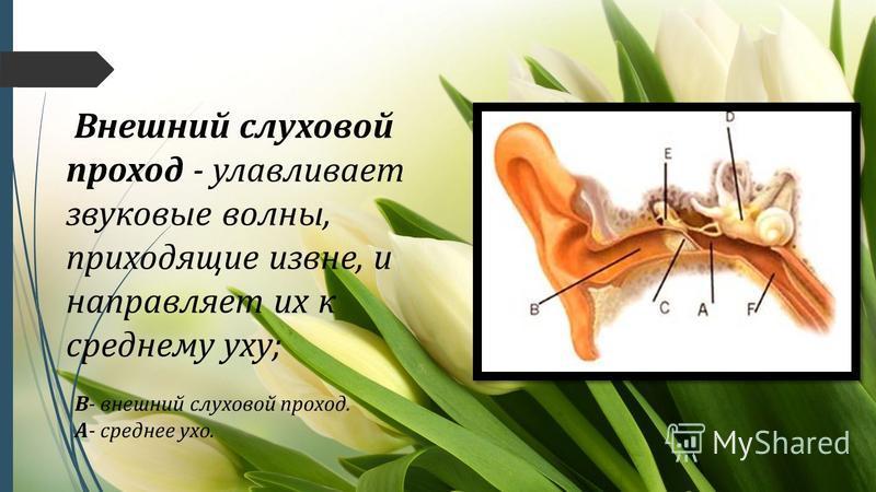 Внешний слуховой проход - улавливает звуковые волны, приходящие извне, и направляет их к среднему уху; В- внешний слуховой проход. А- среднее ухо.