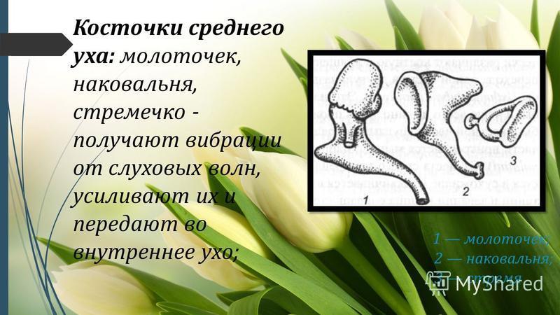 Косточки среднего уха: молоточек, наковальня, стремечко - получают вибрации от слуховых волн, усиливают их и передают во внутреннее ухо; 1 молоточек; 2 наковальня; 3 стремя