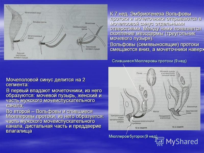 К 7 нед. Эмбриогенеза Вольфовы протоки и мочеточники открываются в мочеполовой синус отдельными отверстиями. Между ними появляется скопление мезодермы (треугольник мочевого пузыря). К 7 нед. Эмбриогенеза Вольфовы протоки и мочеточники открываются в м