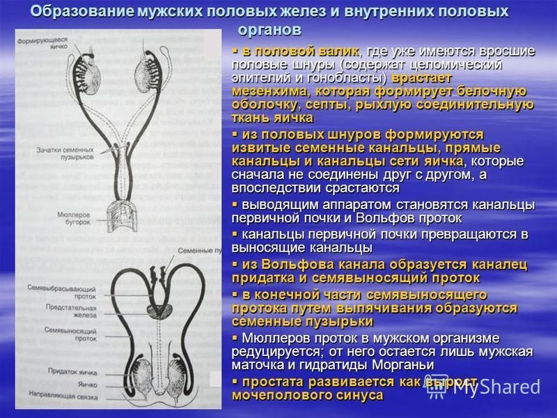 Образование мужских половых желез и внутренних половых органов в половой валик, где уже имеются вросшие половые шнуры (содержат целомический эпителий и гонобласты) врастает мезенхима, которая формирует белочную оболочку, септы, рыхлую соединительную