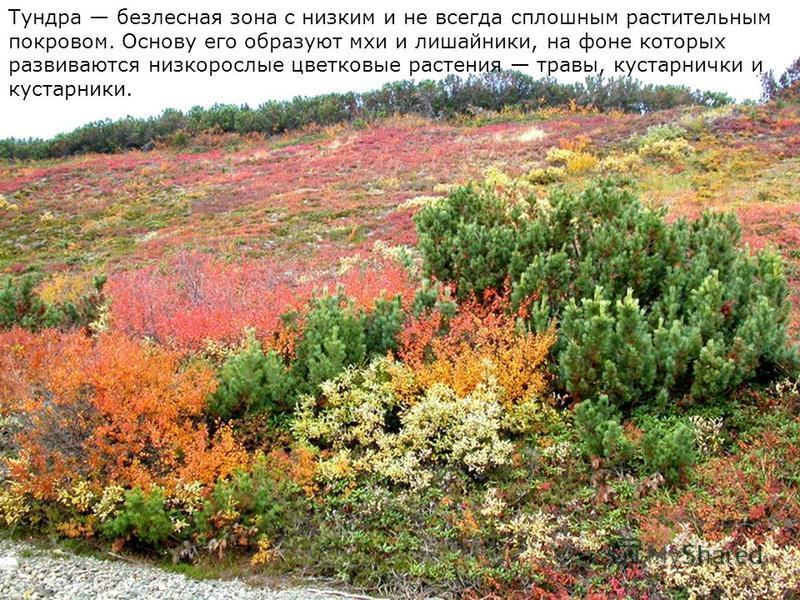 Тундра безлесная зона с низким и не всегда сплошным растительным покровом. Основу его образуют мхи и лишайники, на фоне которых развиваются низкорослые цветковые растения травы, кустарнички и кустарники.