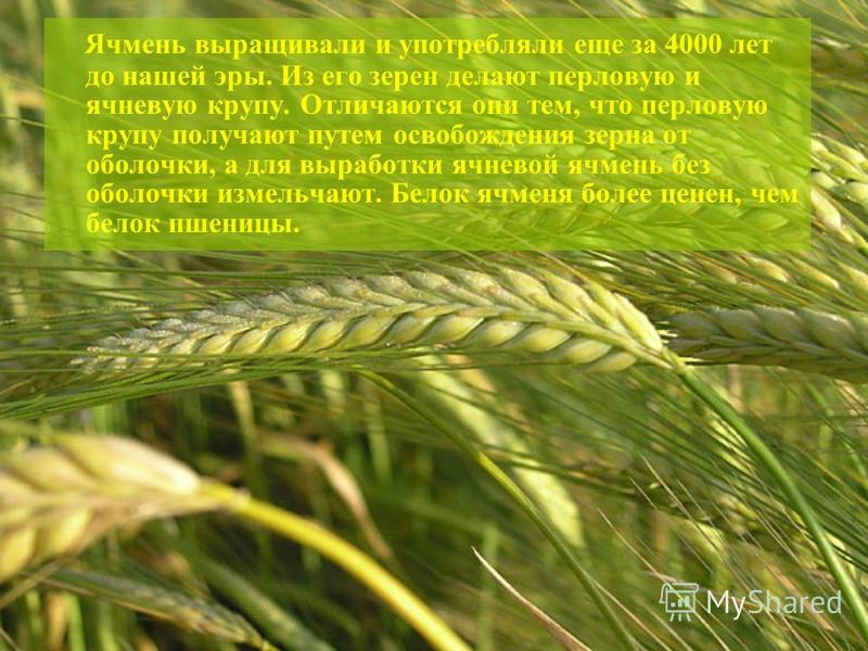 Ячмень выращивали и употребляли еще за 4000 лет до нашей эры. Из его зерен делают перловую и ячневую крупу. Отличаются они тем, что перловую крупу получают путем освобождения зерна от оболочки, а для выработки ячневой ячмень без оболочки измельчают.