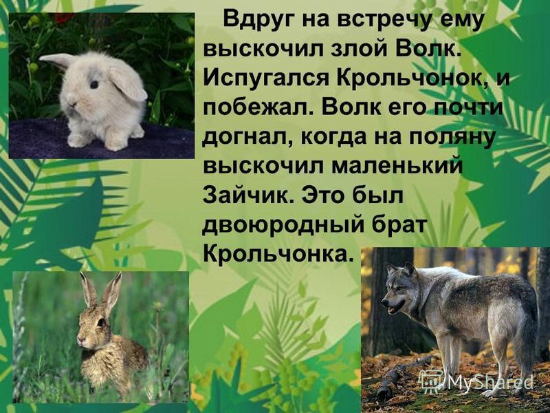 Вдруг на встречу ему выскочил злой Волк. Испугался Крольчонок, и побежал. Волк его почти догнал, когда на поляну выскочил маленький Зайчик. Это был двоюродный брат Крольчонка.