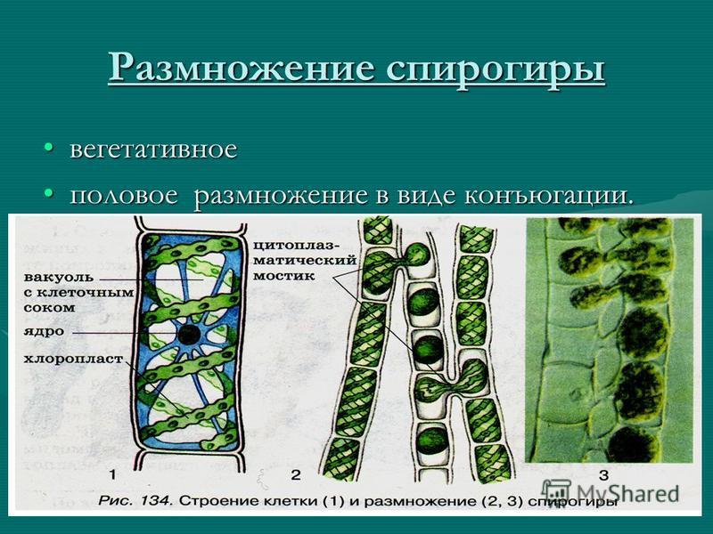 Размножение спирогиры вегетативное половое размножение в виде конъюгации.половое размножение в виде конъюгации.