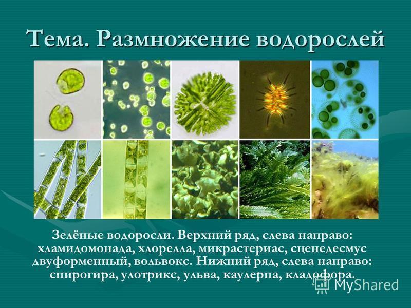 Зелёные водоросли. Верхний ряд, слева направо: хламидомонада, хлорелла, микрастериас, сценедесмус двуформенный, вольвокс. Нижний ряд, слева направо: спирогира, улотрикс, ульва, каулерпа, кладофора. Тема. Размножение водорослей