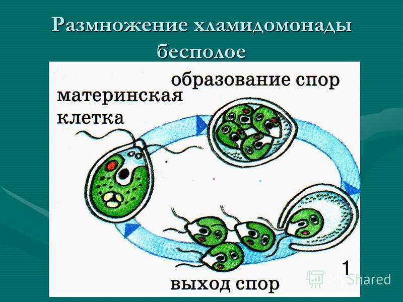 Размножение хламидомонады бесполое