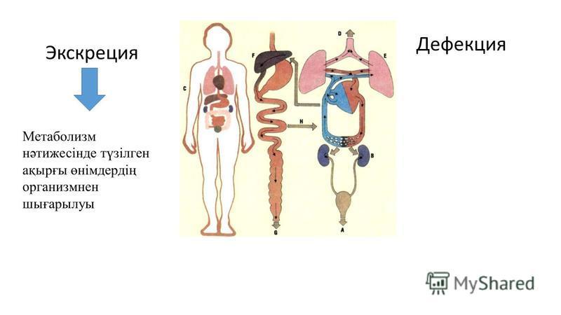 Экскреция Дефекция Метаболизм нәтижесінде түзілген ақырғы өнімдердің организмнен шығарылуы