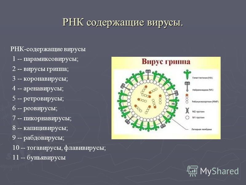 РНК содержащие вирусы. РНК-содержащие вирусы 1 -- парамиксовирусы; 2 -- вирусы гриппа; 3 -- коронавирусы; 4 -- ареновирусы; 5 -- ретровирусы; 6 -- реовирусы; 7 -- пикорнавирусы; 8 -- капицивирусы; 9 -- рабдовирусы; 10 -- тогавирусы, флавивирусы; 11 -