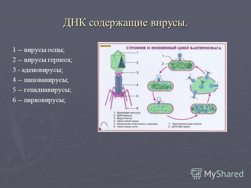 ДНК содержащие вирусы. 1 -- вирусы оспы; 2 -- вирусы герпеса; 3 - аденовирусы; 4 -- паповавирусы; 5 -- гепаднавирусы; 6 -- парвовирусы;