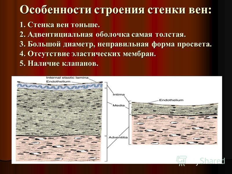 Особенности строения стенки вен: 1. Стенка вен тоньше. 2. Адвентициальная оболочка самая толстая. 3. Большой диаметр, неправильная форма просвета. 4. Отсутствие эластических мембран. 5. Наличие клапанов.