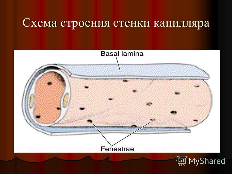 Схема строения стенки капилляра