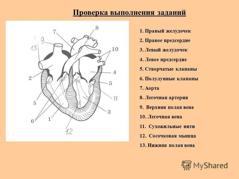 Проверка выполнения заданий 1. Правый желудочек 2. Правое предсердие 3. Левый желудочек 4. Левое предсердие 5. Створчатые клапаны 6. Полулунные клапаны 7. Аорта 8. Легочная артерия 9. Верхняя полая вена 10. Легочная вена 11. Сухожильные нити 12. Сосо