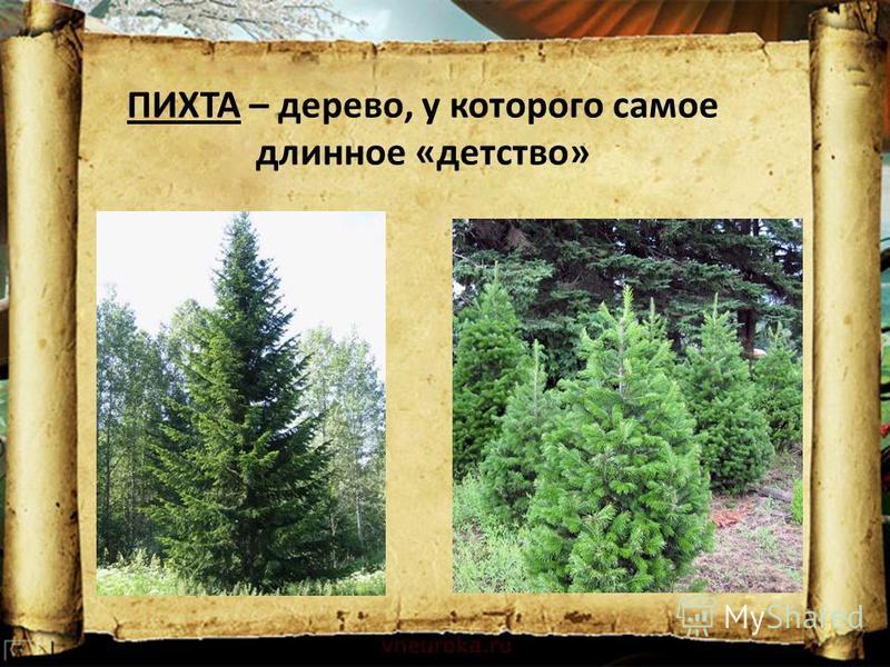 ПИХТА – дерево, у которого самое длинное «детство»