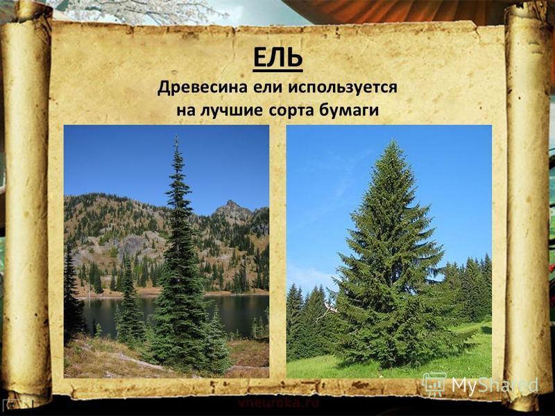 ЕЛЬ Древесина ели используется на лучшие сорта бумаги